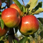 apple-trees-image