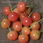 montmorency-cherry-image