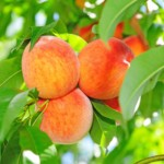 peach-trees-image