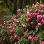 pretty-in-pink-eden-climbing-rose