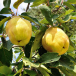 quince-trees-image