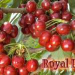 royal-lee-cherry-image