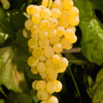 himrod-seedless-grape-image