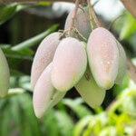 mango-trees-thumb