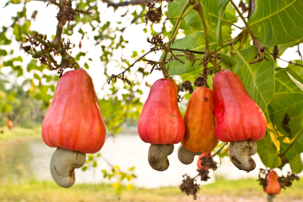 cashew fruit image