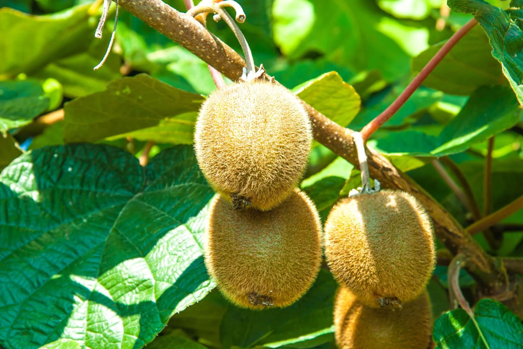 Kiwi Fruit image