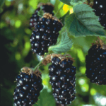 olallie-blackberry-image