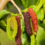 pakistan-fruiting-mulberry-image